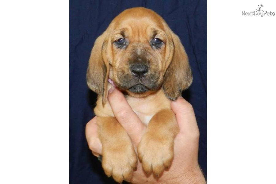Bloodhound Dog Collar