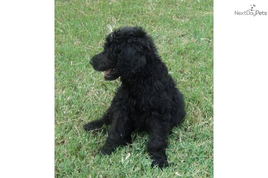 black standard poodle puppy - photo #18