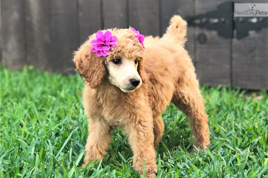 Standard poodle puppies for sale san antonio texas