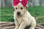 Picture of Adorable Cream F1 Labradoodle - Female