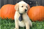 Picture of F1 Labradoodle Male Puppy - Bentley