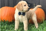 Picture of F1 Labradoodle Male Puppy - Teddy