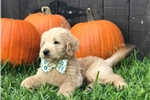 Picture of F1 Labradoodle Male Puppy - Marley