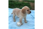 Picture of Male F1 Labradoodle