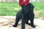 Picture of Black Labradoodle Female
