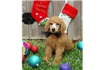 Picture of Red Standard Poodle Puppy - AKC