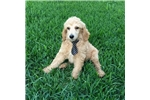 Picture of AKC Champion Bloodline Standard Poodle - Ace