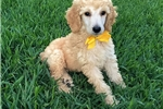 AKC Champion Bloodline Standard Poodle - Axyl | Puppy at 11 weeks of age for sale