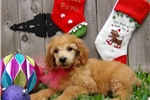 Picture of Adorable AKC Apricot Standard Poodle Puppy!