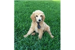 AKC Champion Bloodline Standard Poodle - Ace | Puppy at 11 weeks of age for sale