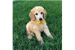 Picture of AKC Champion Bloodline Standard Poodle - Axyl