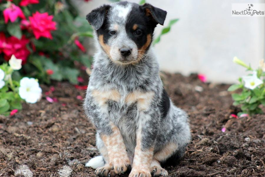 Australian cattle dog puppies for sale in pa keystone photos