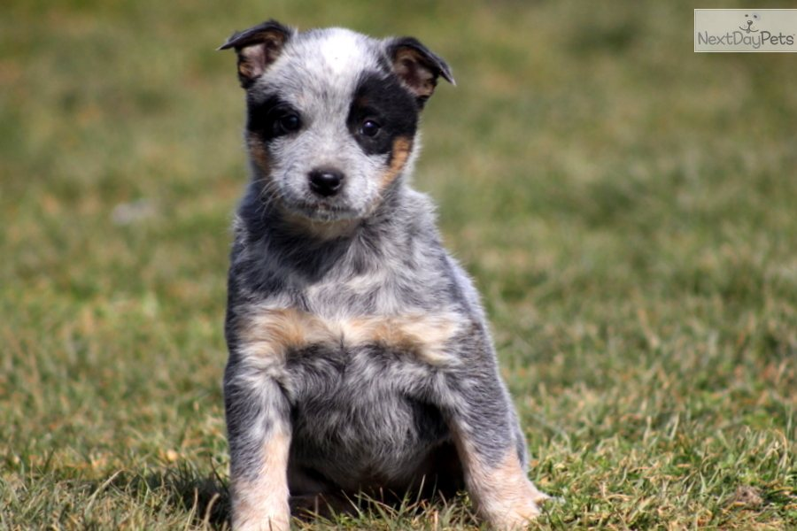 Australian Cattle Dog Puppies Bc