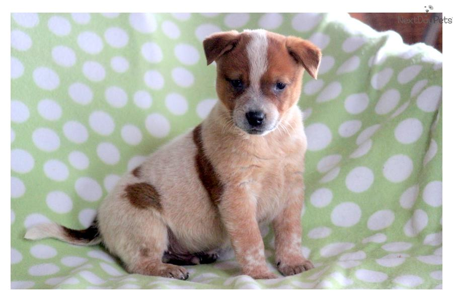 ... Dog/Blue Heeler puppy for sale for $700. Sampson - Red Heeler Male