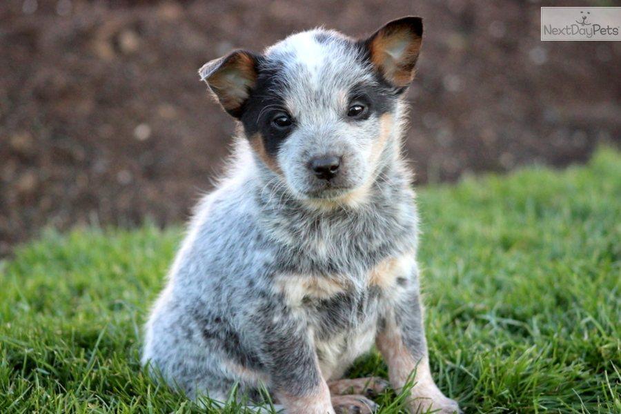 Australian Cattle Dog/Blue Heeler puppy for sale near Lancaster ...
