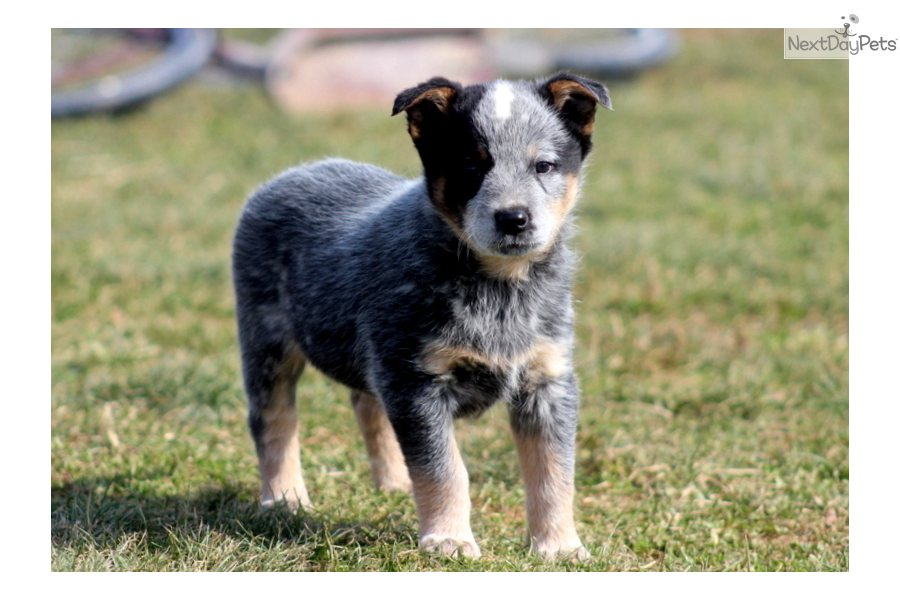 Australian cattle dog blue heeler puppy for sale near lancaster