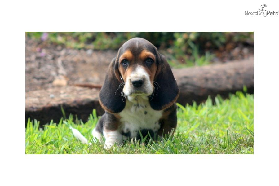 basset hound puppy for sale near lancaster pennsylvania