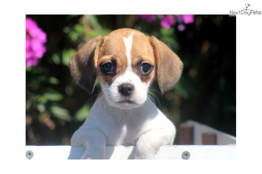 Meet Hilda a cute Beabull puppy for sale for $395. Hilda ...