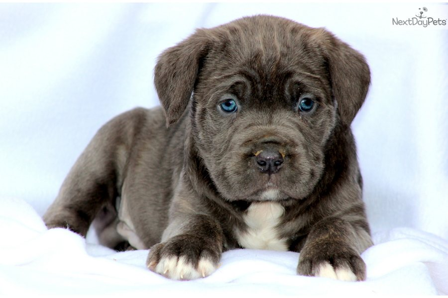 Sophie | Cane Corso Puppy For Sale | Keystone Puppies