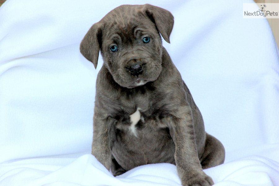 Meet Male a cute Cane Corso Mastiff puppy for sale for