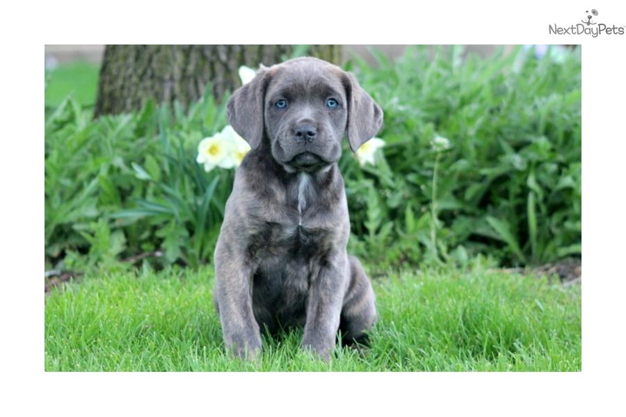 Princess cane corso mastiff puppy for sale near lancaster for Princess cane