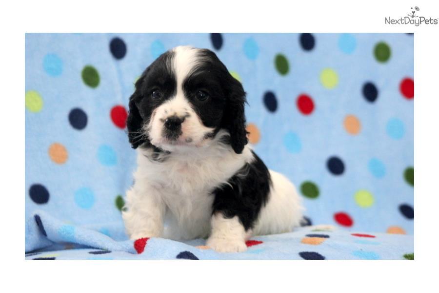 Cavalier Mix Puppies for Sale  Lancaster Puppies