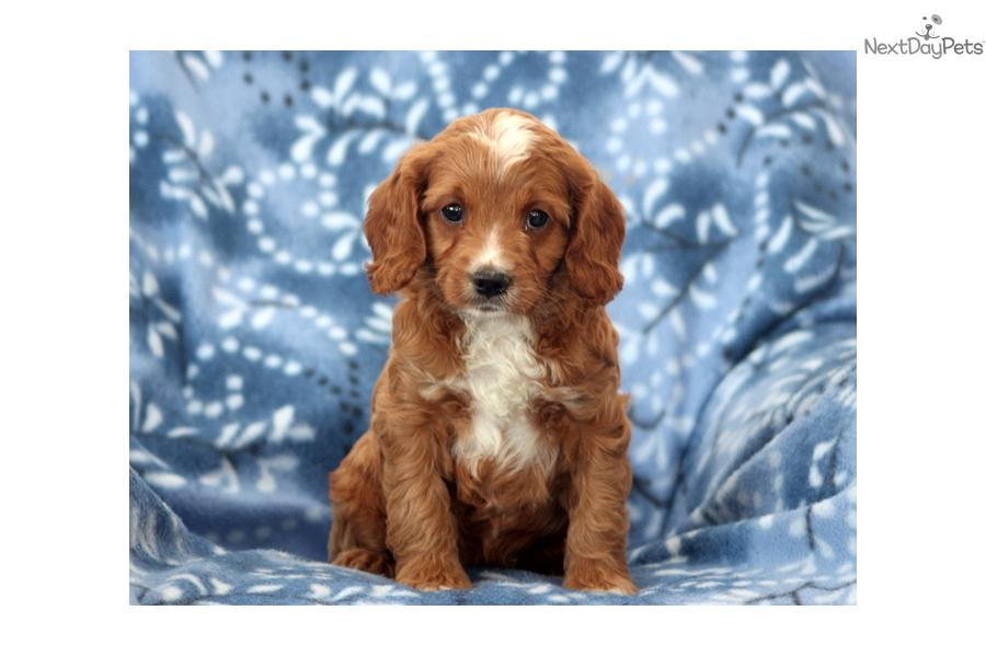 Cute Dog Names For Cavapoos