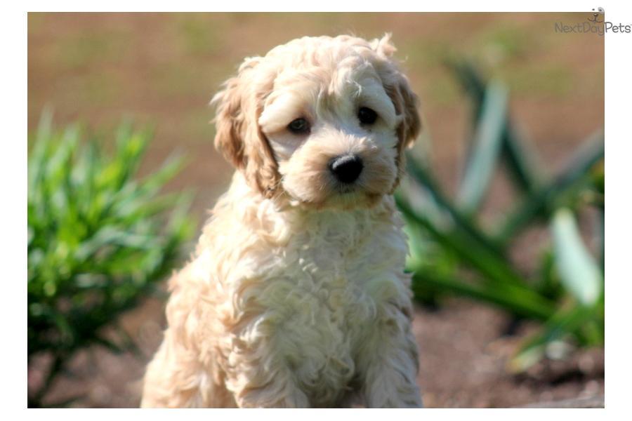Pin cute cockapoo puppies on pinterest