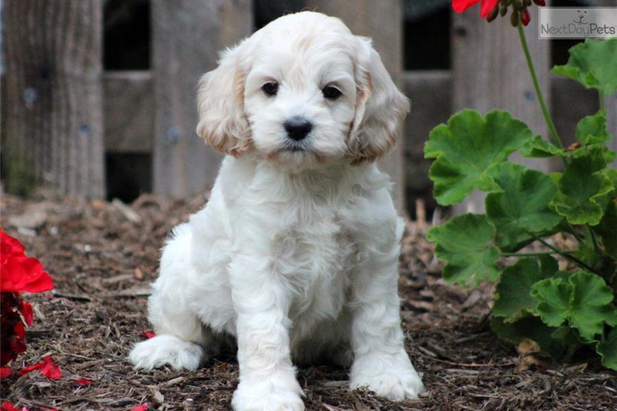 Major a cute cockapoo puppy for sale for 650 major cockapoo male