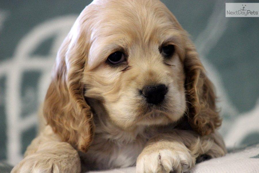 cocker spaniel puppy for sale near lancaster pennsylvania