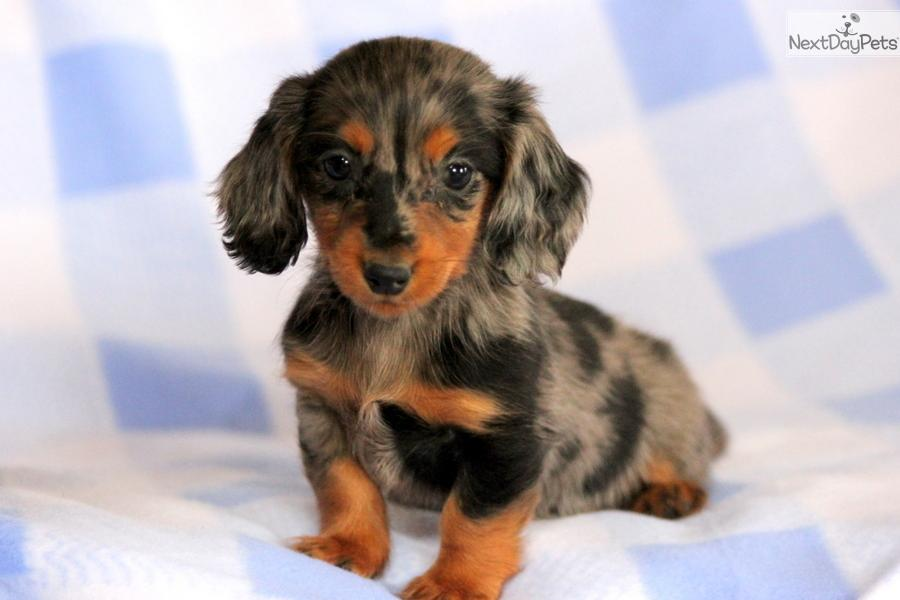 Dachshund, Mini puppy for sale near Lancaster ...
