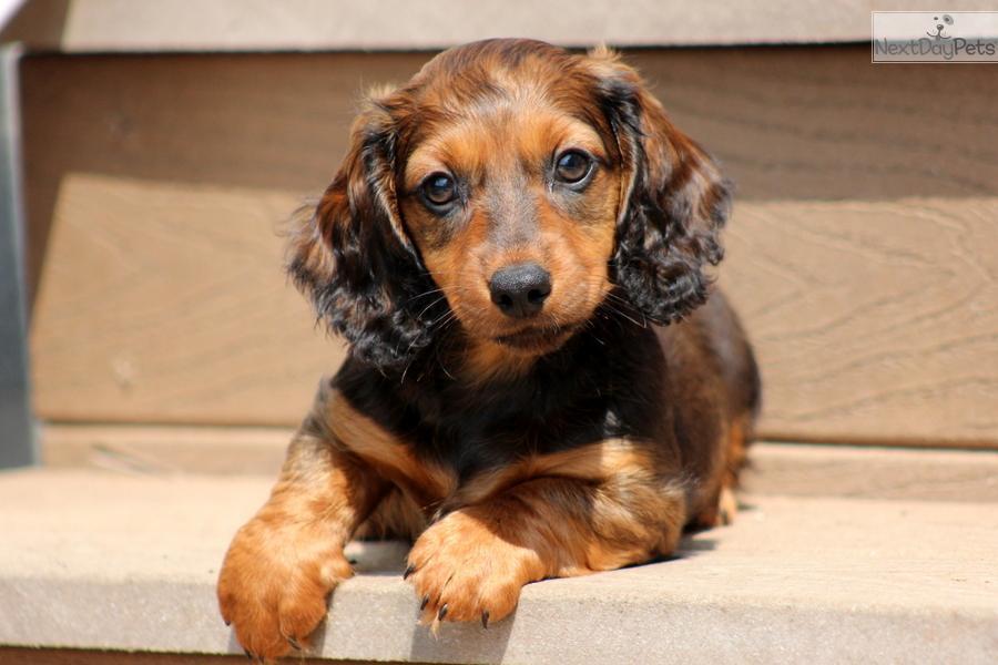 Dachshund, Mini puppy for sale near Lancaster ...