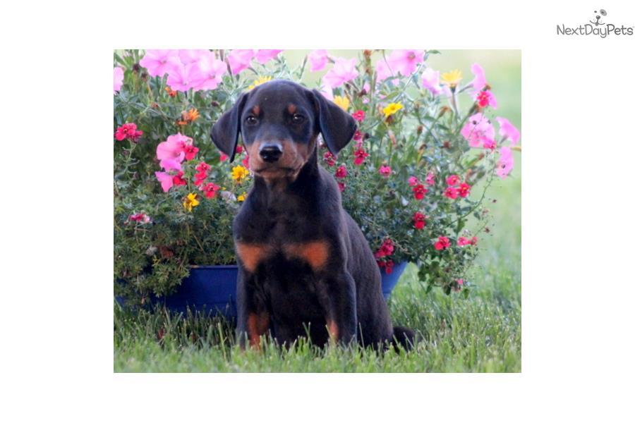 Find Doberman Pinscher Dogs & Puppies For Sale & Adoption