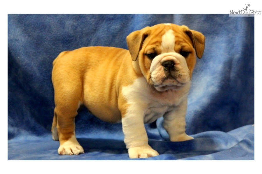 english bulldog puppies for sale with papers Our english bulldog puppies here in kentucky can also be shipped throughout the mainland united states to any airport serviced by continental cargo for $395.