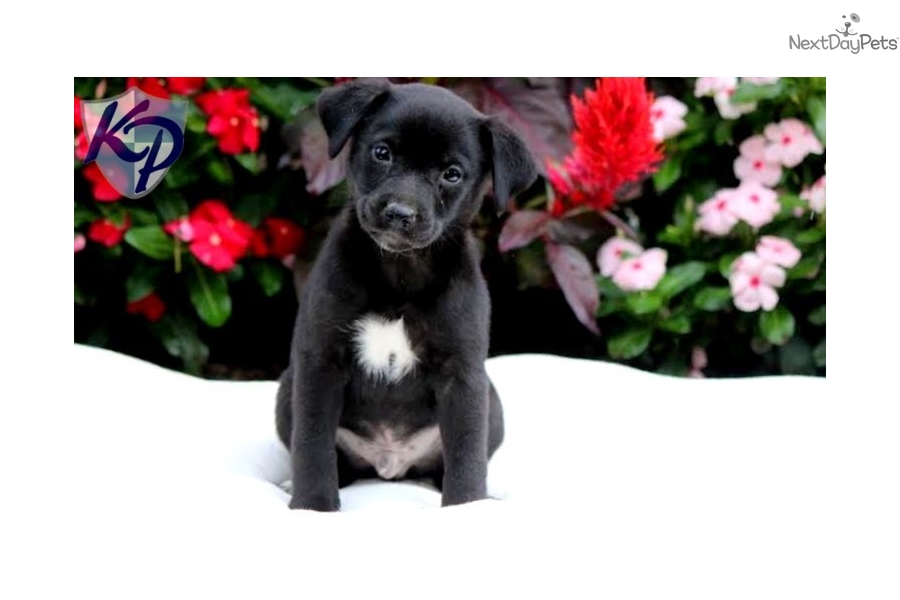 ... - Home Dog Breeds Puppies For Sale Toy Fox Terrier Puppies Breed