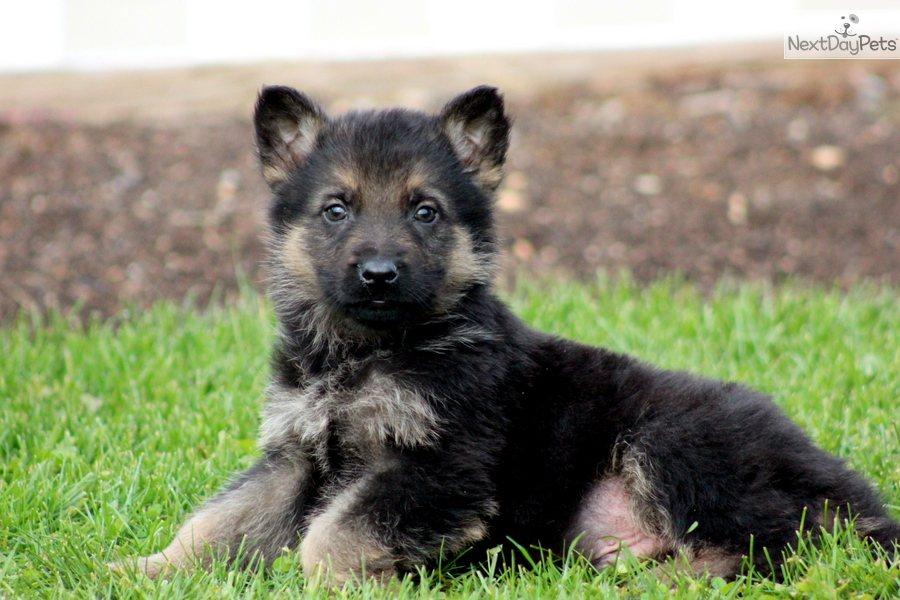 Cute German Shepherd Puppy