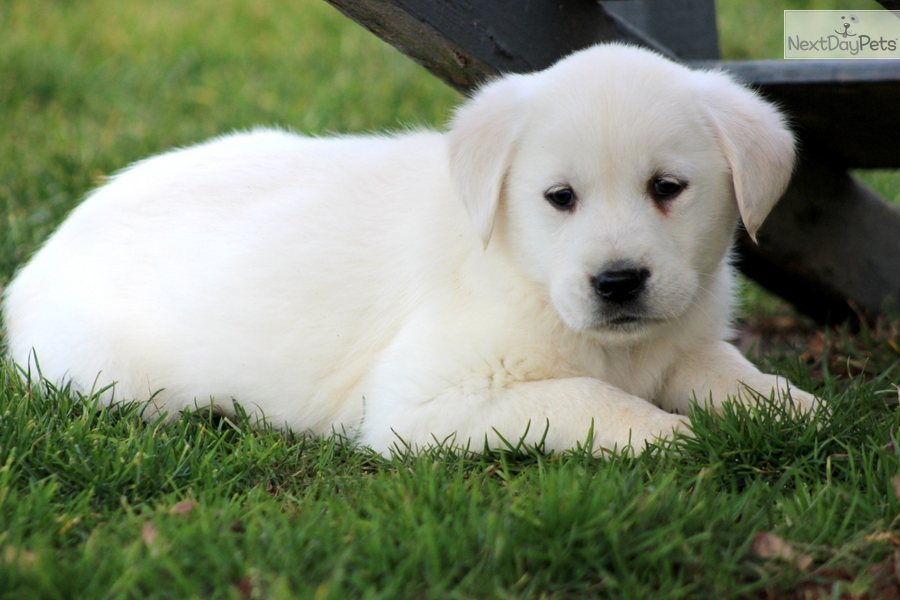 Goldador puppy for sale near Lancaster, Pennsylvania  b363c112df01