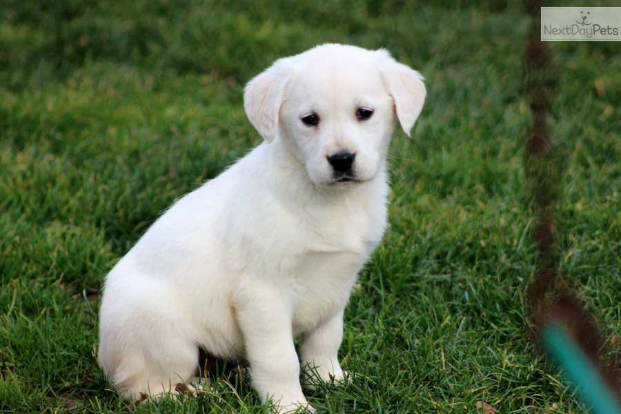 how to tell if a lab puppy is healthy