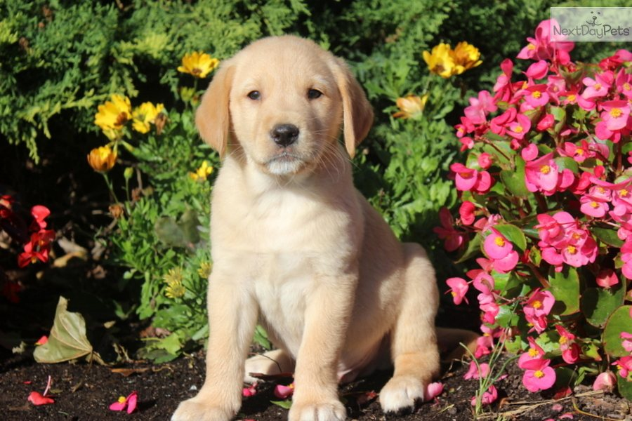 Goldador puppy for sale near Lancaster, Pennsylvania  53bfffcd8c81