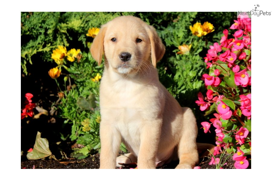 Goldador puppy for sale near Lancaster, Pennsylvania  afc7f651a521