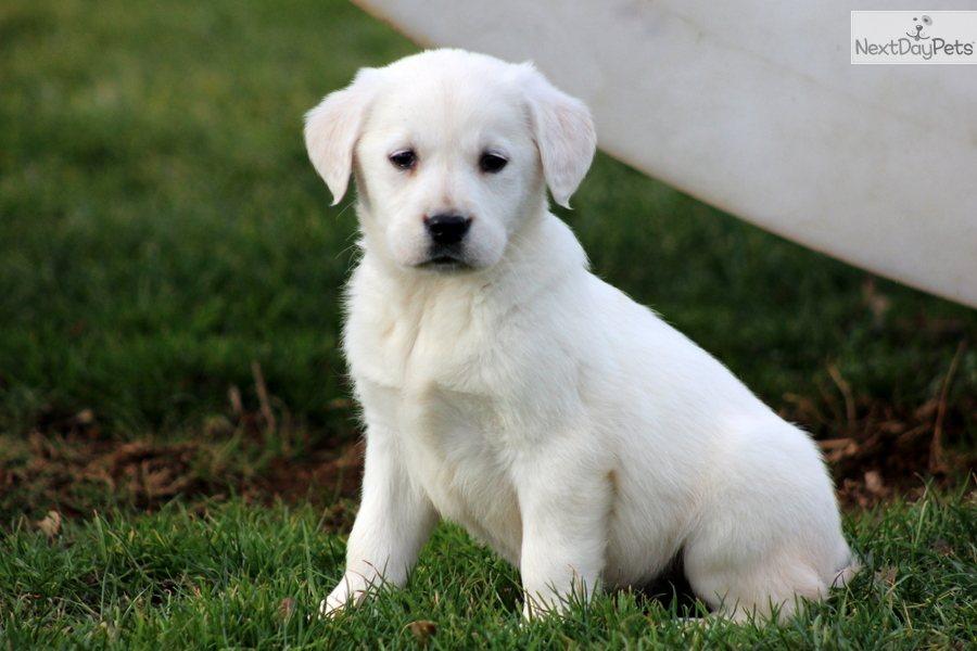 Goldador puppy for sale near Lancaster, Pennsylvania  d25278e80031