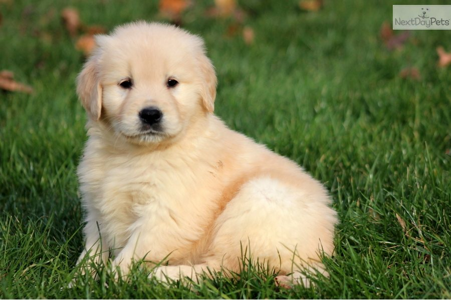 Golden Retriever puppy for sale near Lancaster ...
