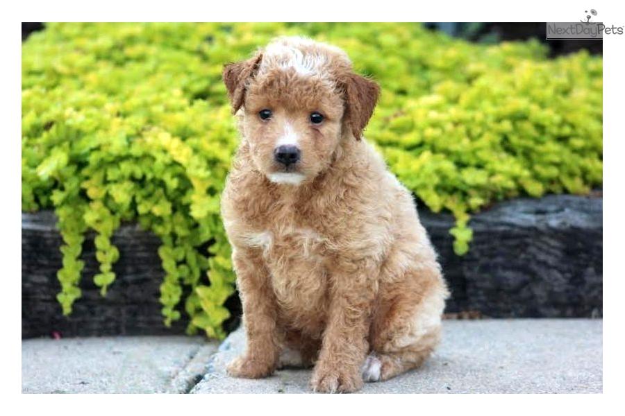 Goldendoodle puppy for sale near lancaster pennsylvania 29a927e0