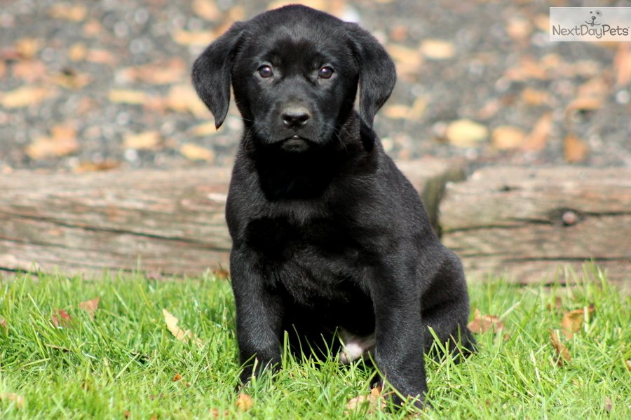 Labrador Retriever Puppy for Sale: Niles - Black Lab Male - 431da453 ...