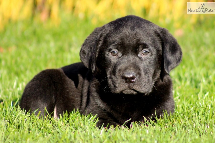 Labrador Retriever Puppy for Sale: Toby - Black Lab Male - 57660f16 ...