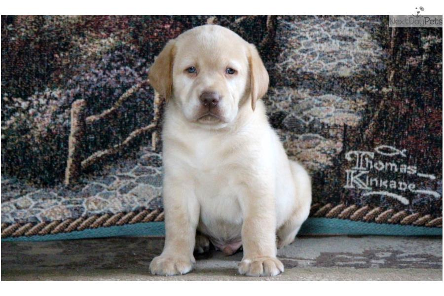 Donnie - Yellow Lab Male | Labrador Retriever puppy for ...