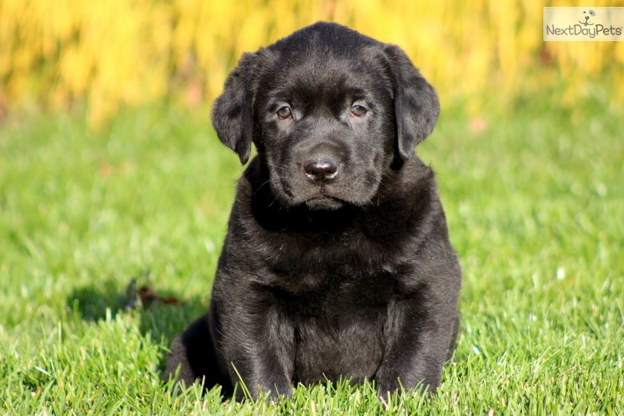 Meet Tank a cute Labrador Retriever puppy for sale for $275. Tank ...