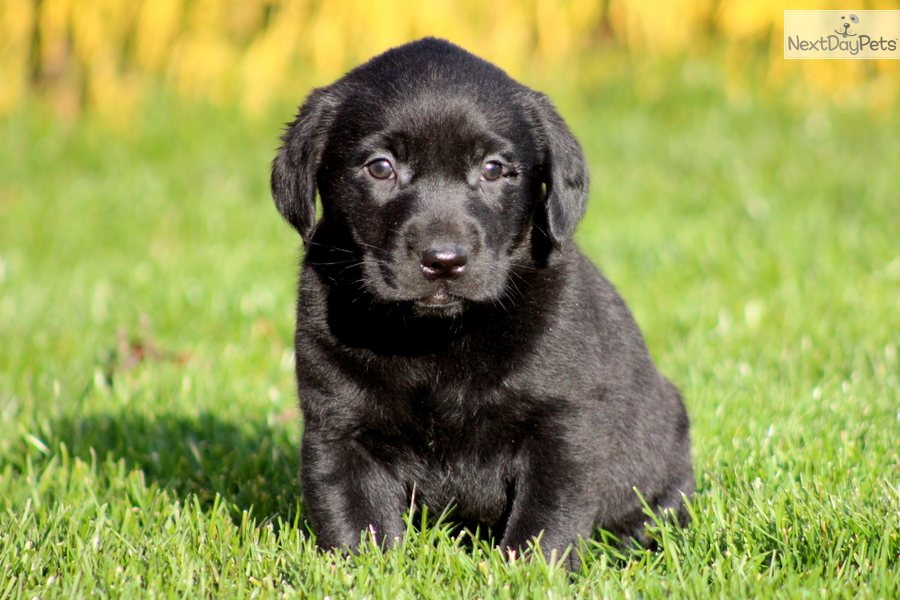 Black labrador retriever puppies female