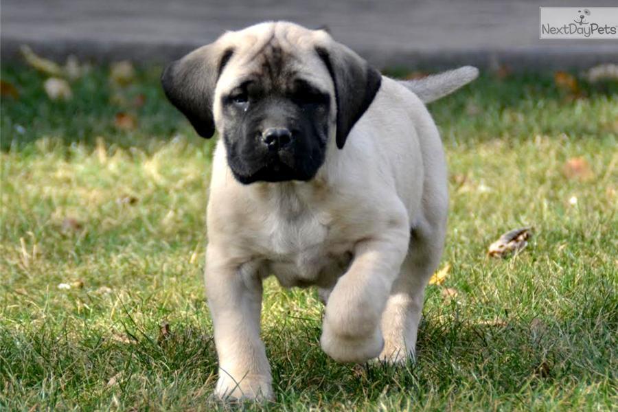 English Mastiff Service Dog