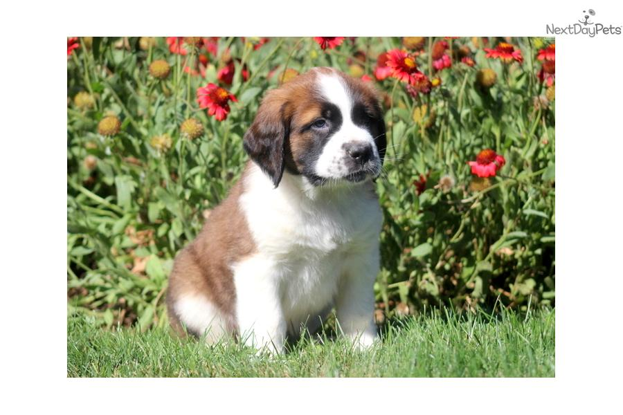 Saint bernard st bernard puppy for sale for 900 buster st